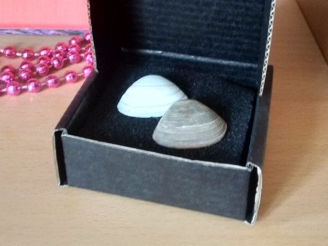 Two seashells in a small padded box